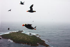 the Tufted Puffin over ocean (Lunda cirrhata) Royalty Free Stock Photo