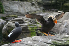 Tufted puffin, and Pigeon Guillemot Royalty Free Stock Photography