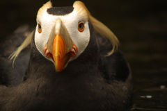 Tufted Puffin Portrait Royalty Free Stock Photo