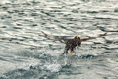 Tufted puffin scatter on water for take-off. Royalty Free Stock Photo