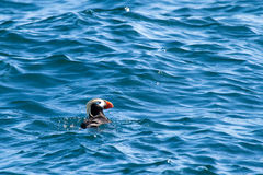 Tufted Puffin Royalty Free Stock Photos