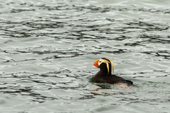 Tufted puffin swim in the waters of Pacific Ocean. Stock Photos