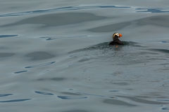Tufted puffin swim in the waters of Pacific Ocean. Royalty Free Stock Image