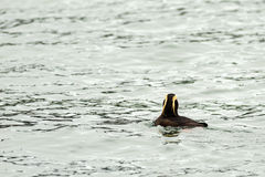 Tufted puffin swim in the waters of Pacific Ocean. Stock Photography