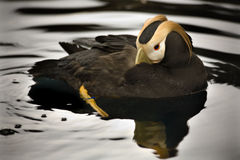 Tufted Puffin Swimming Alaska stock images