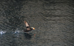 Tufted Puffin Taking Off Stock Image