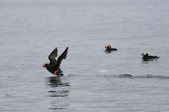 Tufted puffin taking off to fly at Katchemak Bay, AK Stock Photography