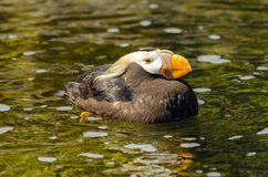 Tufted Puffin in Water Stock Photo