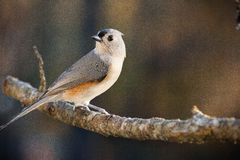 Tufted Timouse. A Tufted Titmouse perched on a branch in the late afternoon sun Stock Photos