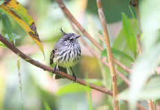 Tufted Tit-Tyrant Royalty Free Stock Photography
