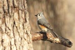 tufted titmouse ветви птицы Стоковые Изображения RF