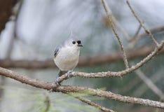 tufted titmouse птицы Стоковые Фотографии RF