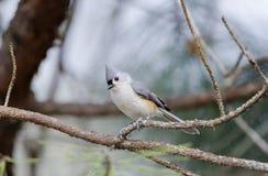 tufted titmouse птицы Стоковые Изображения RF