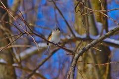 Tufted Titmouse садясь на насест в дереве стоковая фотография