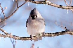 Tufted titmouse сидя в дереве Стоковые Изображения RF