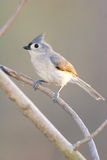 tufted titmouse ый ветвью Стоковое фото RF