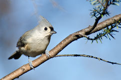 Tufted Titmouse ый в вале Стоковое фото RF