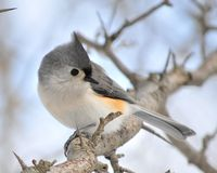 Tufted Titmouse Stock Photo