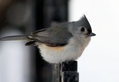 Tufted Titmouse Stock Photos