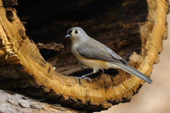 Tufted Titmouse 15 Stock Photo