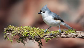 Tufted titmouse. Taken at Dufferin Islands Niagara Falls Ontario Royalty Free Stock Photo