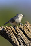 Tufted Titmouse 2 Stock Photos