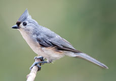 Tufted Titmouse. Perching on a tree branch Stock Photo
