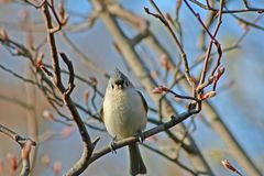 Tufted Titmouse. The Tufted Titmouse, a common bird in the Northeast, perched on a budding branch Royalty Free Stock Photo