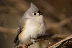 Tufted Titmouse. Perched on a branch - Parus bicolor Royalty Free Stock Photography