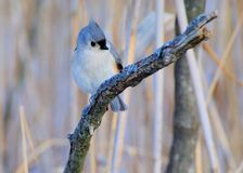 Tufted Titmouse Stock Image
