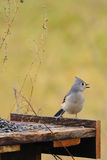 Tufted Titmouse 3 Stock Photo