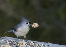 Tufted Titmouse Royalty Free Stock Photography