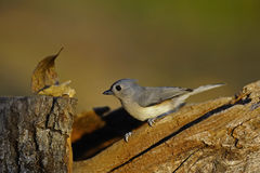 Tufted Titmouse 4 Stock Image