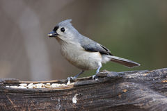 Tufted Titmouse. Eating seeds out of a feeder Stock Image