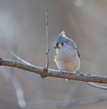 Tufted Titmouse Royalty Free Stock Images