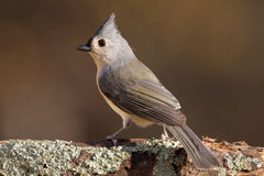 tufted titmouse Стоковое фото RF