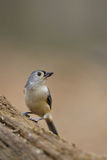 Tufted Titmouse 9 Royalty Free Stock Photography