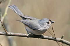 Tufted Titmouse Royalty Free Stock Photos
