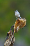 Tufted Titmouse a2 Royalty Free Stock Images