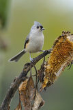 Tufted Titmouse a3 Stock Photography