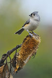 Tufted Titmouse a4 Stock Image