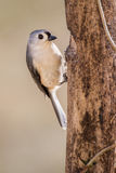 Tufted Titmouse. A tufted titmouse anchored against a pine tree Royalty Free Stock Photography