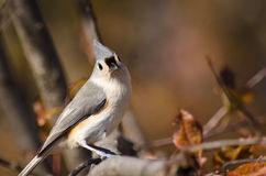 Tufted Titmouse in Autumn Stock Image