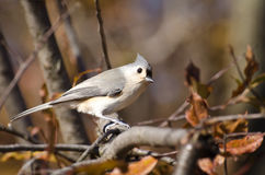 Tufted Titmouse in Autumn Stock Photos