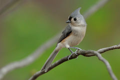 Tufted Titmouse 3b Stock Image