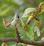 Tufted Titmouse (Baeolophus bicolor). Perched on a tree branch Royalty Free Stock Photography