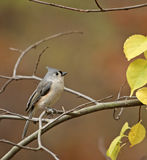 Tufted Titmouse (Baeolophus bicolor). Perched on a branch with autumn colored background Royalty Free Stock Photography