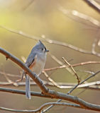 Tufted Titmouse (Baeolophus bicolor). Perched on a tree branch Stock Images