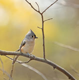 Tufted Titmouse (Baeolophus bicolor). Perched on a tree branch Stock Photos