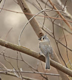 Tufted Titmouse (Baeolophus bicolor) Royalty Free Stock Image